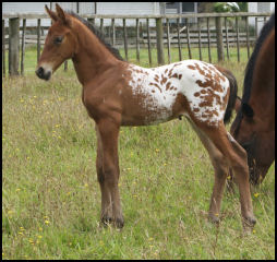 Knabstrupper colt New Zealand